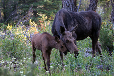 Moose Cow and Calf - near Jackson Hole