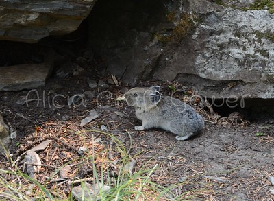 Pika in the Rocks