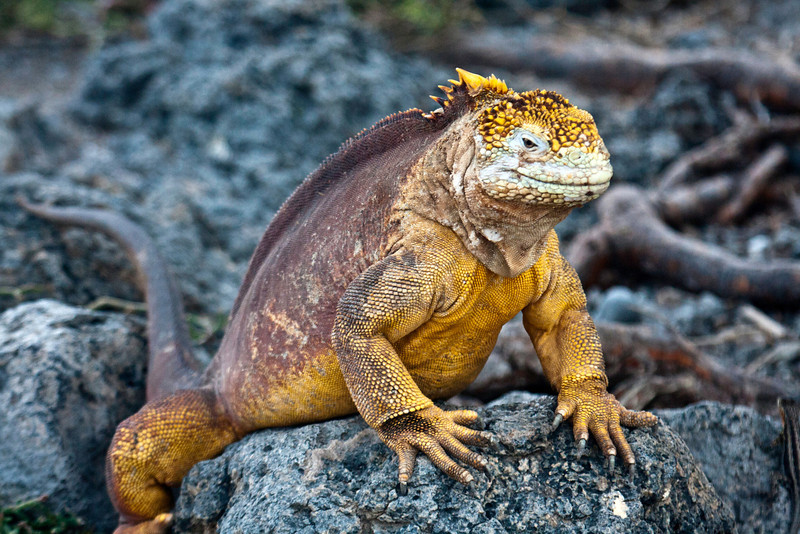Land iguana, South Plaza Island, Galapagos Islands, Ecuador.