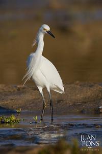 Snowy Egret, Isabela, PR