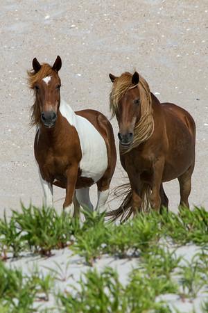 Assateague wild horse duo