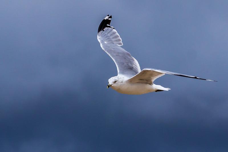 Seagull Soar