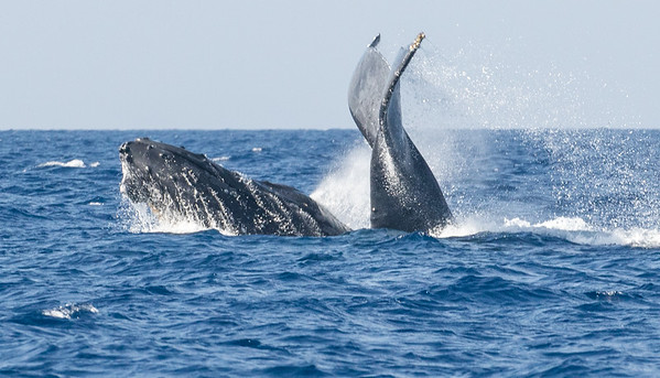Two humpback males