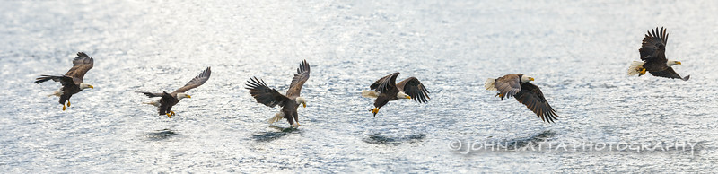 Sequence of Eagle Catching a Kokanee