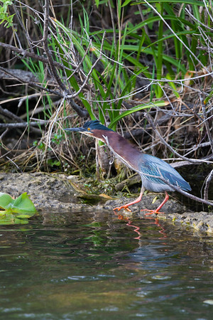 Everglades Green Heron at Water's Edge