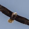 Bald Eagle 4/23/17