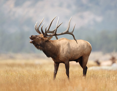 When the Conditions are Unusual, Embrace the Opportunity, Bull Elk in Rocky Mountain National Park