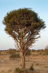 Melierax poliopterus