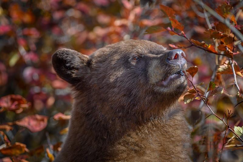 Cinnamon Black bear eating Hawthorn berries, Grand Teton National Park, Wyoming