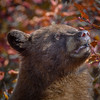 Cinnamon Black bear eating Hawthorn berries, Grand Teton National Park, Wyoming