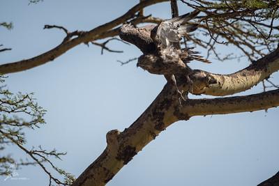 Circaetus cinereus