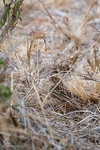 Cisticola chiniana