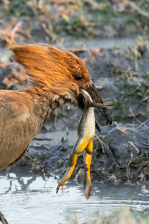 Hammerkop with dinner