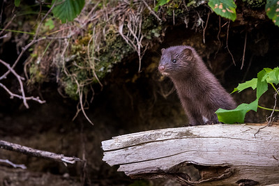 Mink on Watch