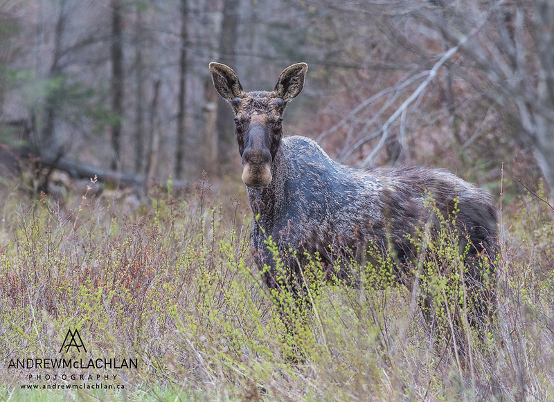 Bull Moose (Alces alces) in spring, Parry SOund, Ontario, Canada