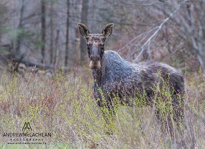 Bull Moose (Alces alces) in spring, Parry SOund, Ontario, Canada