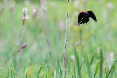 Red-winged Blackbird Abstract