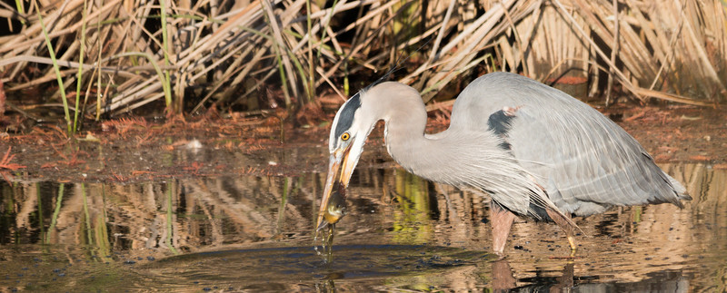 Great Blue Heron surprises fish