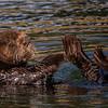 Sea Otter at Moss Landing Harbor