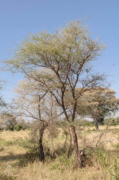 Glaucidium perlatum