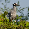 Yellow-Crowned Night Heron 5/25/16