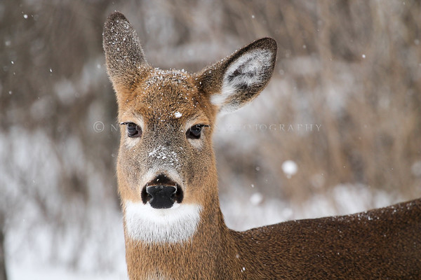 White Tailed Deer (female)