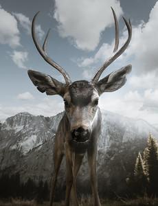 Curious Buck