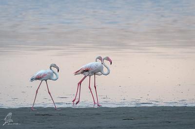 Flamingo, Greater (monotypic)