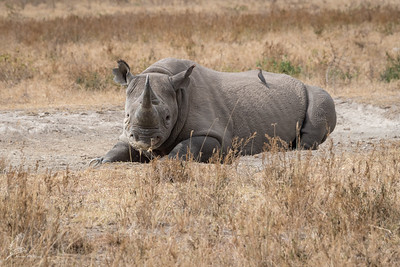 Rhinoceros, Black (spp. michaeli)