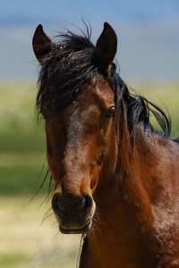Wild Horse Closeup Portrait