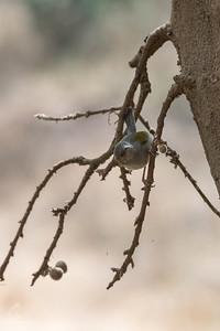 Camaroptera brachyura