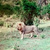 The King of the Masai Mara