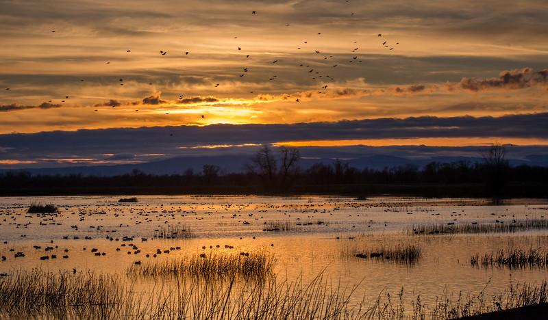 Swifts at Sunset 2246