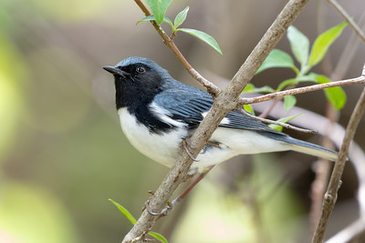 376- Black-throated Blue Warbler
