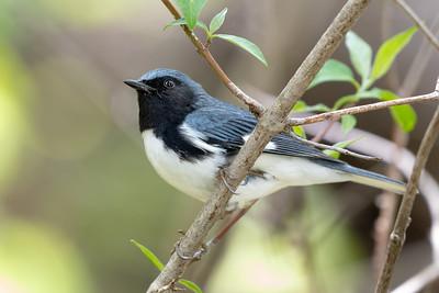 376- Black-throated Blue Warbler