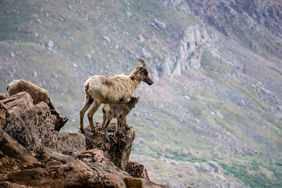 Bighorn Sheep Mother With Kid