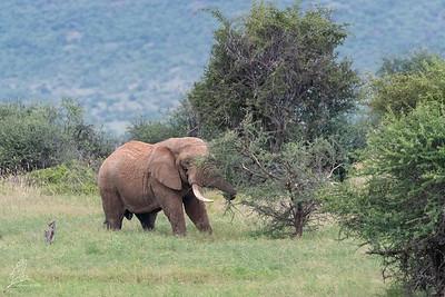 Loxodonta africana