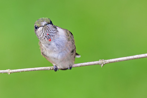 Ruby-throated Hummingbird (young male)