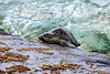 LaniakeaBeachHawaiianGreenSeaTurtle-021
