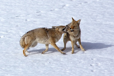 Conflict Resolution Coyote Style