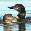 Common Loon Adult and Subadult