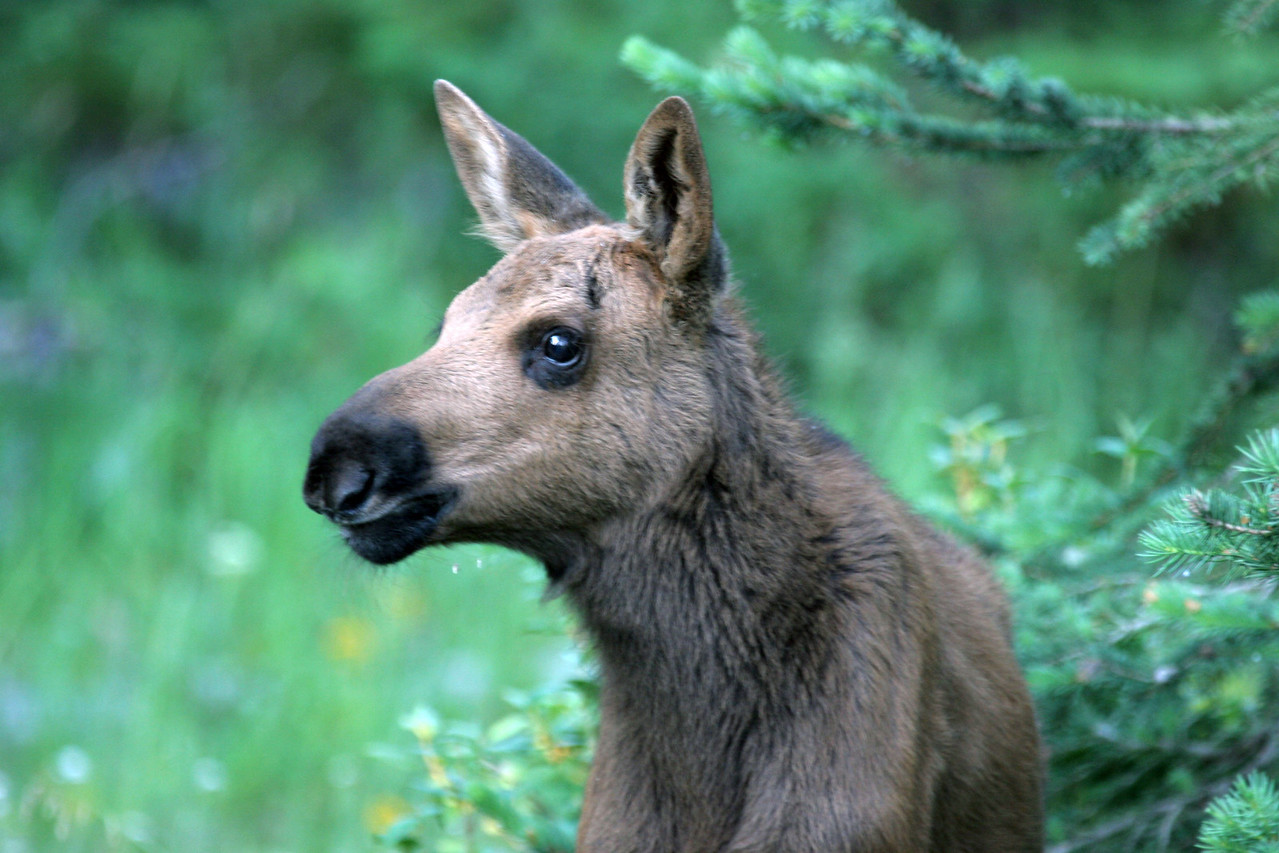 Moose Calf - Near Jackson Hole, Wyoming