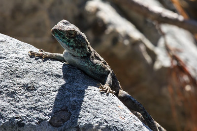 Blue Headed Agama lizard, Bloukop