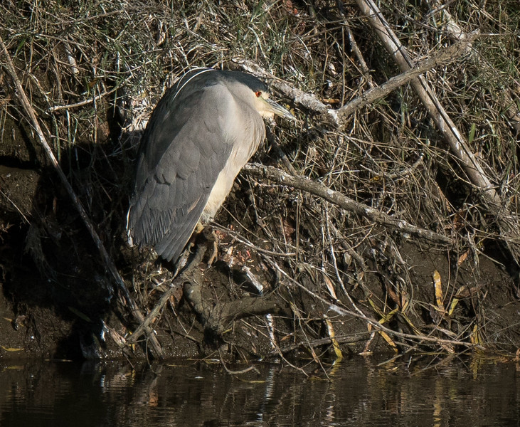 Black Crowned Night Heron 3479