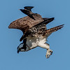 Osprey Being Chased By Another Bird 5/7/17