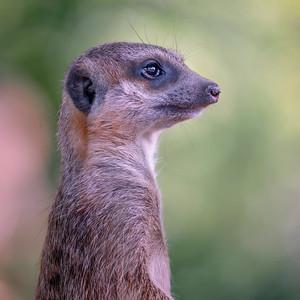 Meerkat (Surikata surikatta)