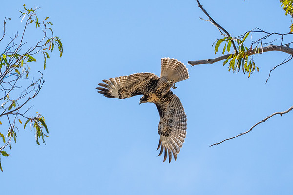 Red-tailed hawk in San Francisco