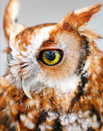 Eye of Brown Owl