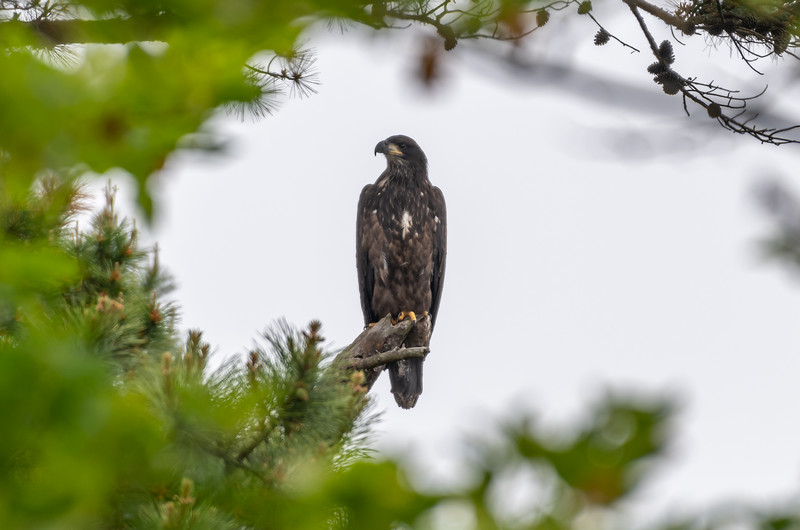 A Juvenile Bald Eagle Perched on a Branch 5/29/19