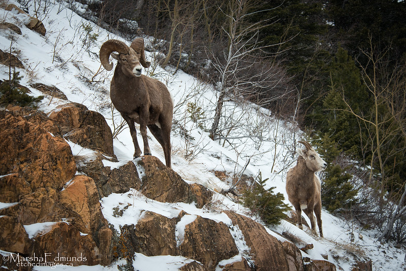 Bighorn Mountain Sheep As the Snow is Gently Falling